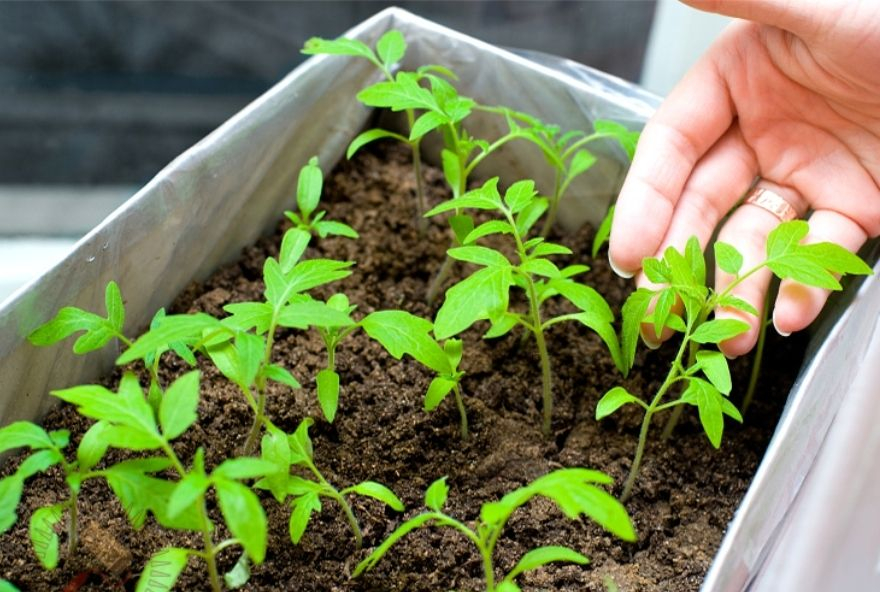Успешное выращивание рассады