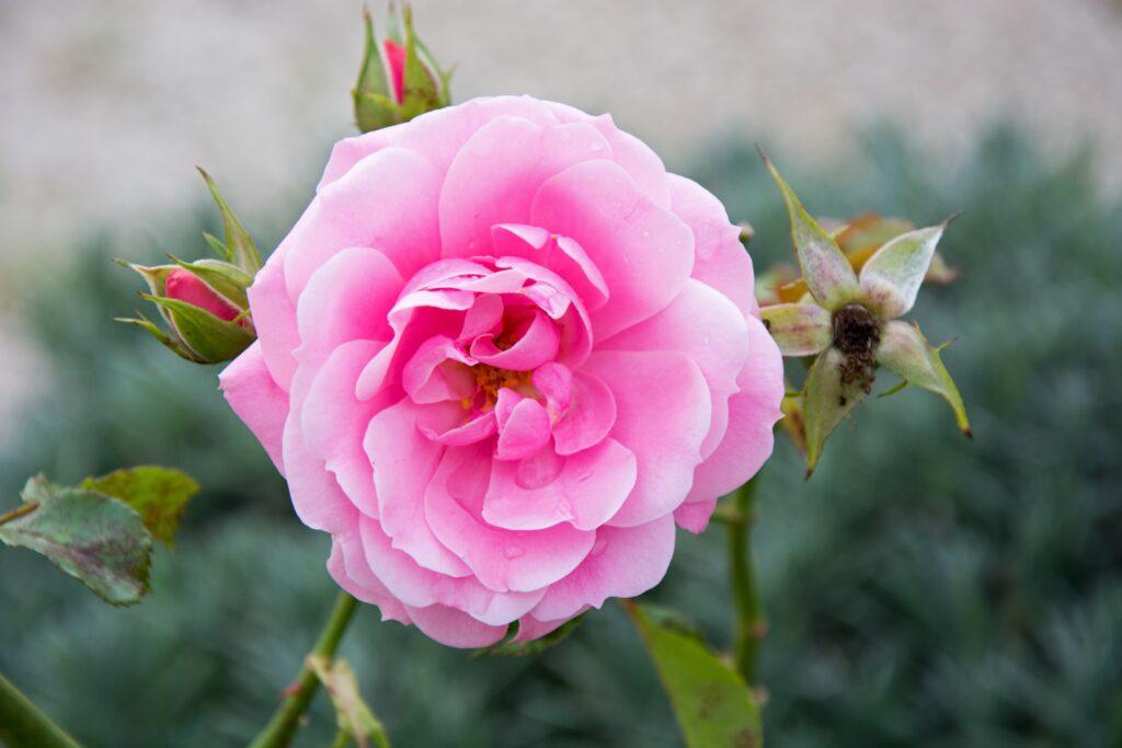 «Bright Rose» - розовые цветы