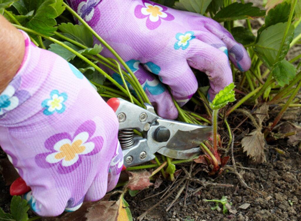 Когда обрезать листья у клубники