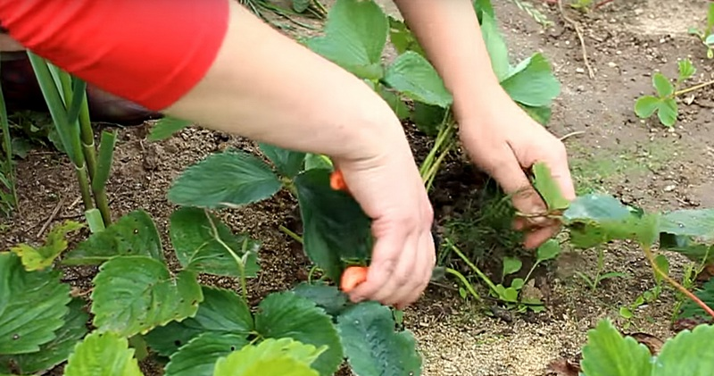 Когда обрезать листья у клубники и как это делать?
