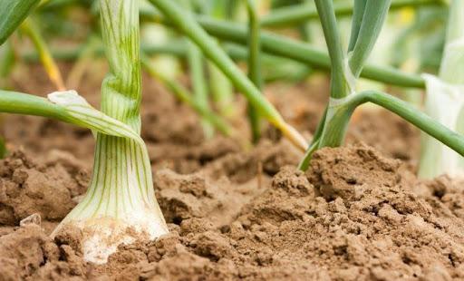 Полезный лук и его выращивание на грядках