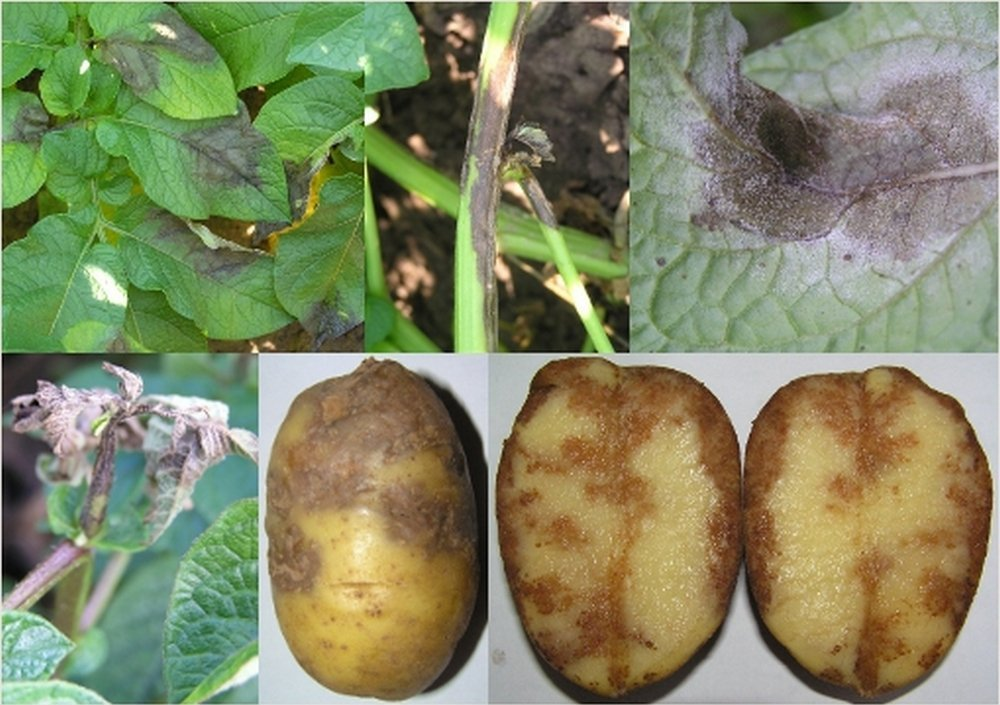 Фитофтороз стеблей и клубней