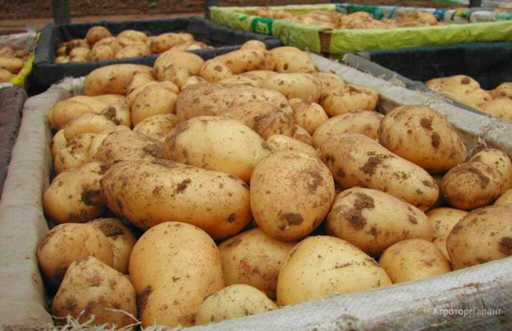 Хранение картофеля Тулеевский