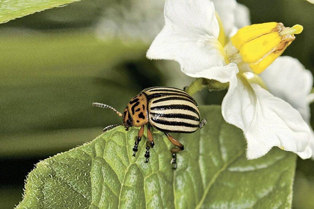 Колорадский жук на картофеле Зекура