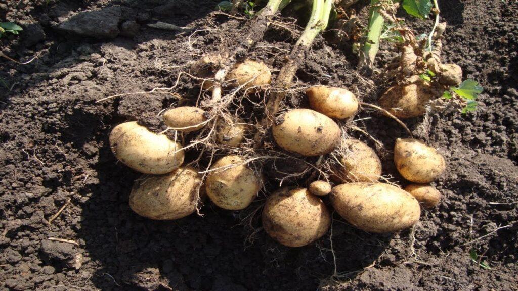 Корень картофеля Зекура