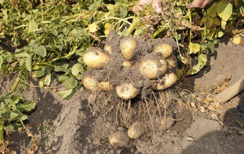 Выкопанный корень картофеля Тулеевский