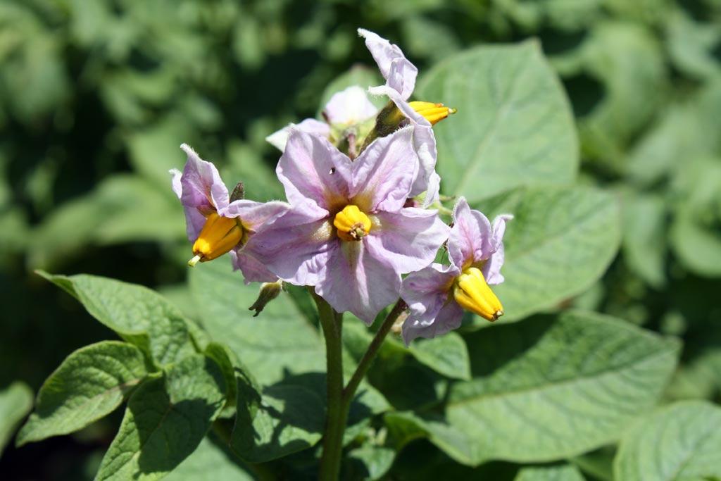 Почему сорт Беллароза не цветет