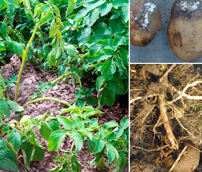 Фузариоз картофеля