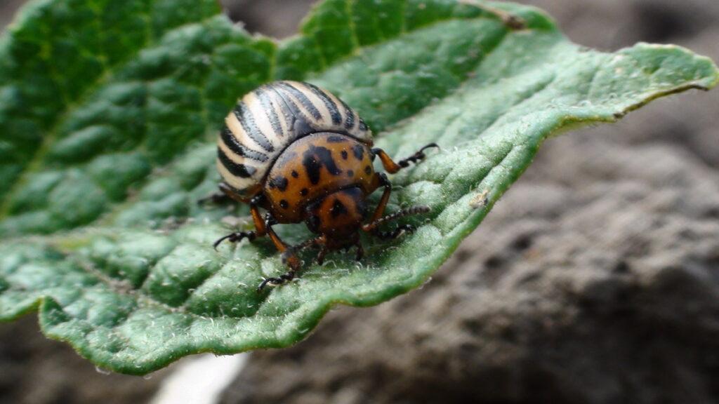 Главный вредитель картофеля— колорадский жук