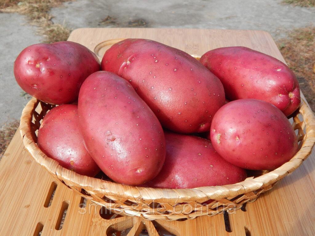 Голландский картофель Лабелла