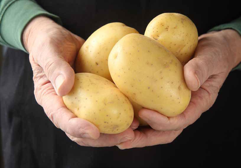 Характеристика сорта картофеля Бриз