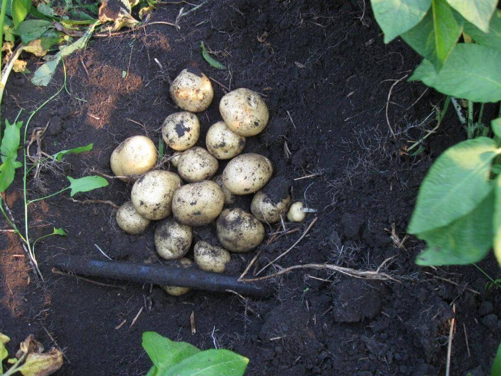 Характеристики Картофеля