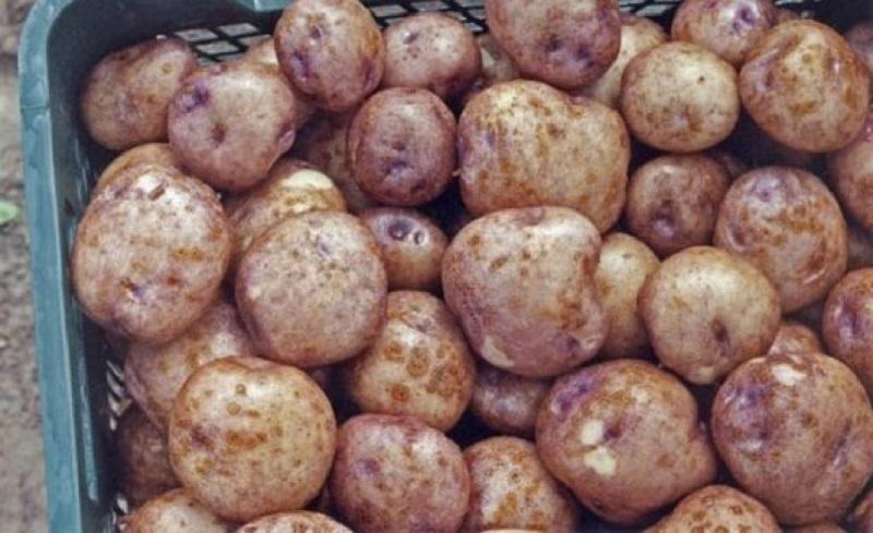 Хранение картофеля Синеглазка