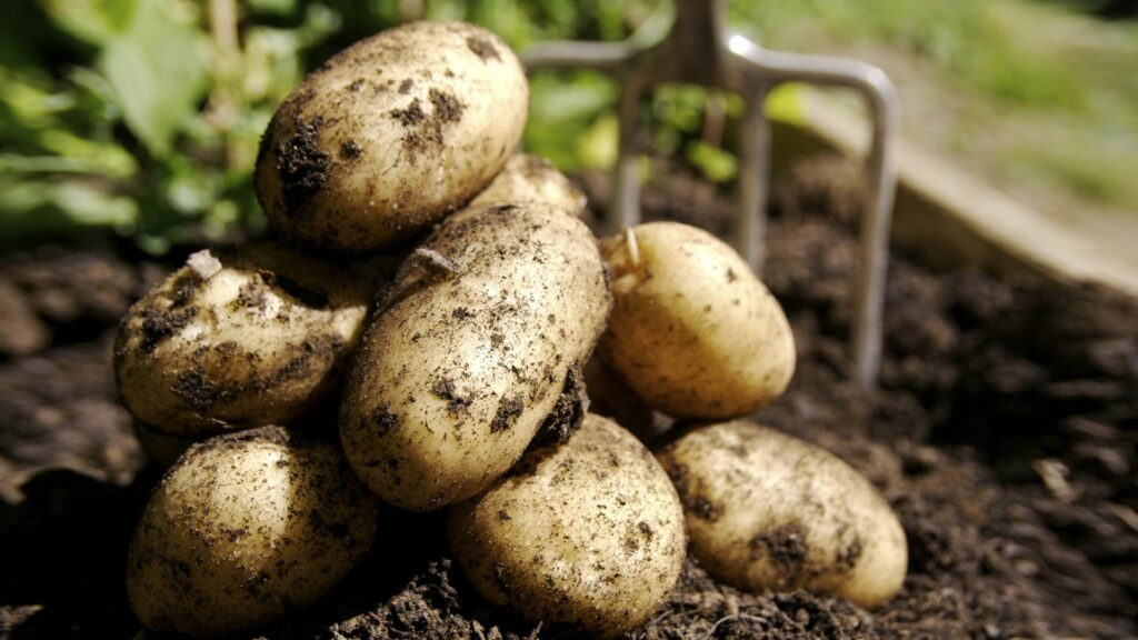 Как и когда собирать картофель Лилея