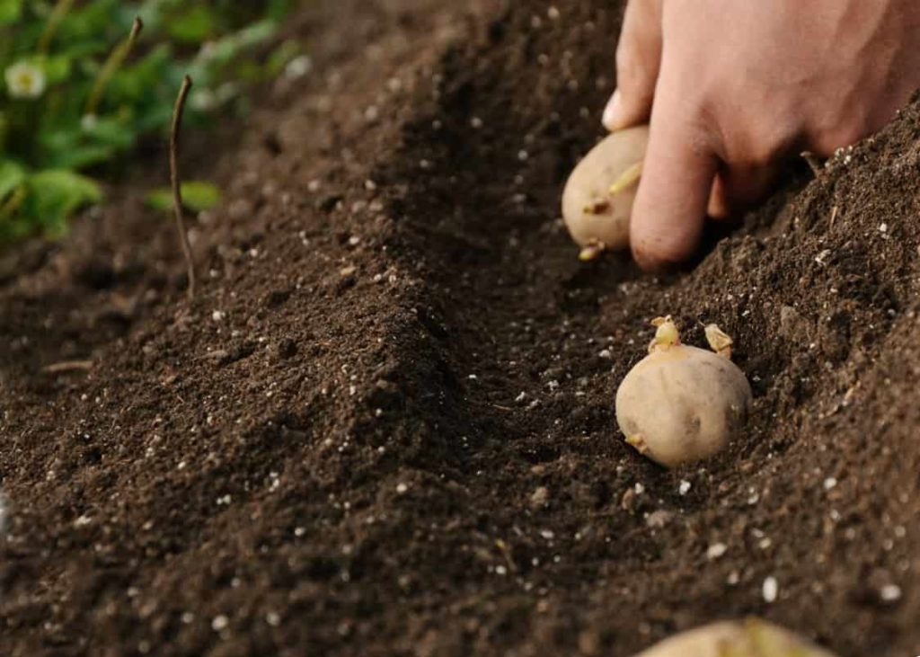 Как посадить картофель Киви