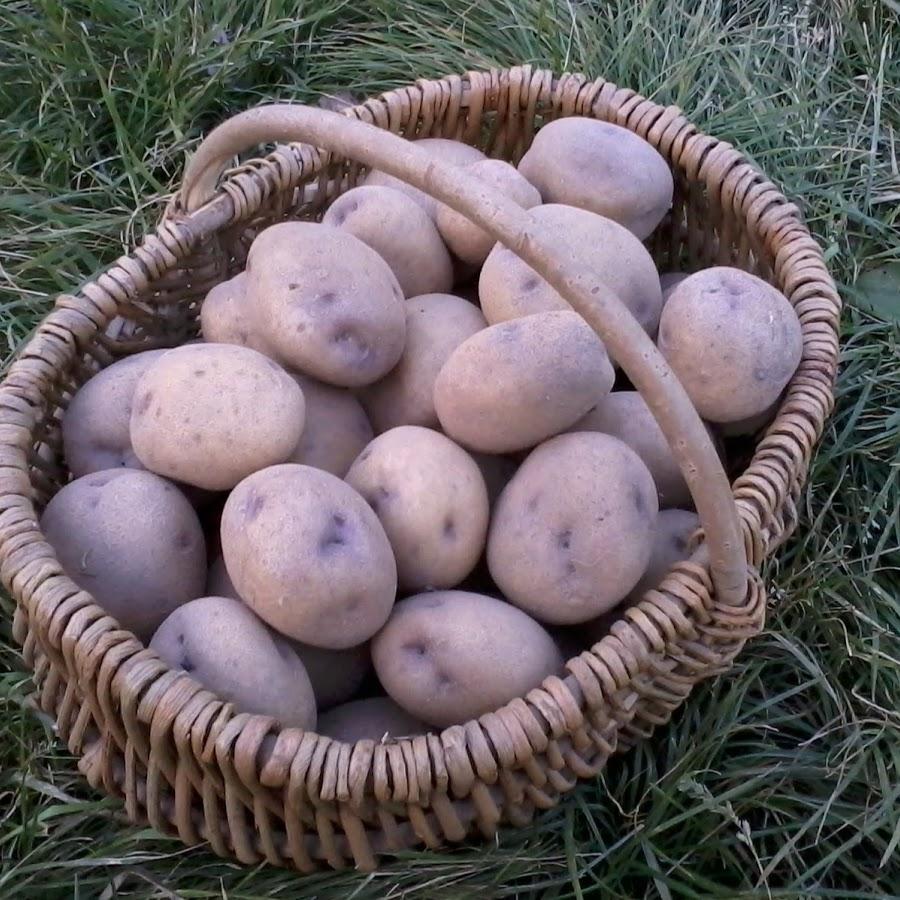 Как правильно выбрать картофель Синеглазка