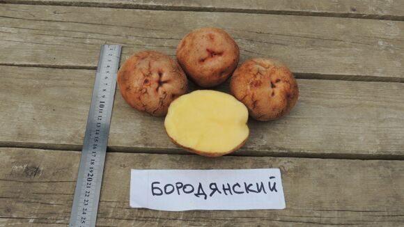 Картофель Бородянский Розовый