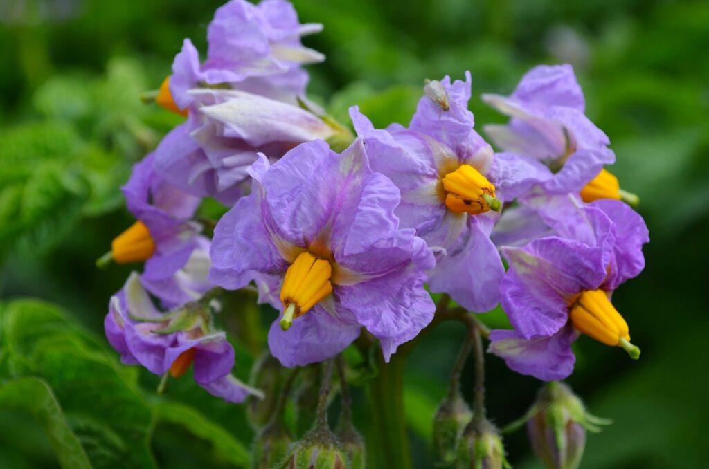 Картофель Голубой Дунай цветение