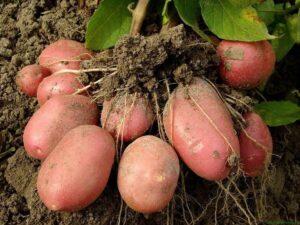 Картофель Каменский: описание, преимущества, отзывы, выращивание и уход