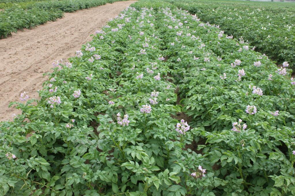 картофель Колобок кусты
