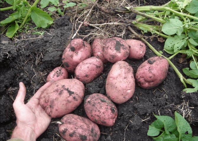 Картофель Лабелла урожайность