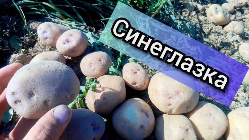 Картофель Синеглазка внешний вид