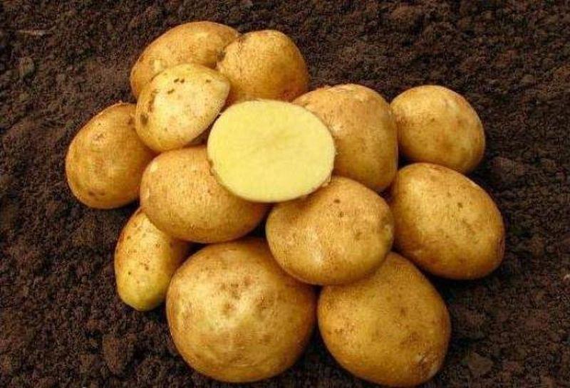 Картофель Венета описание