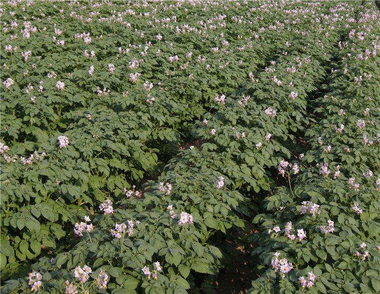 Картофель Жуковский ранний цветение кустов