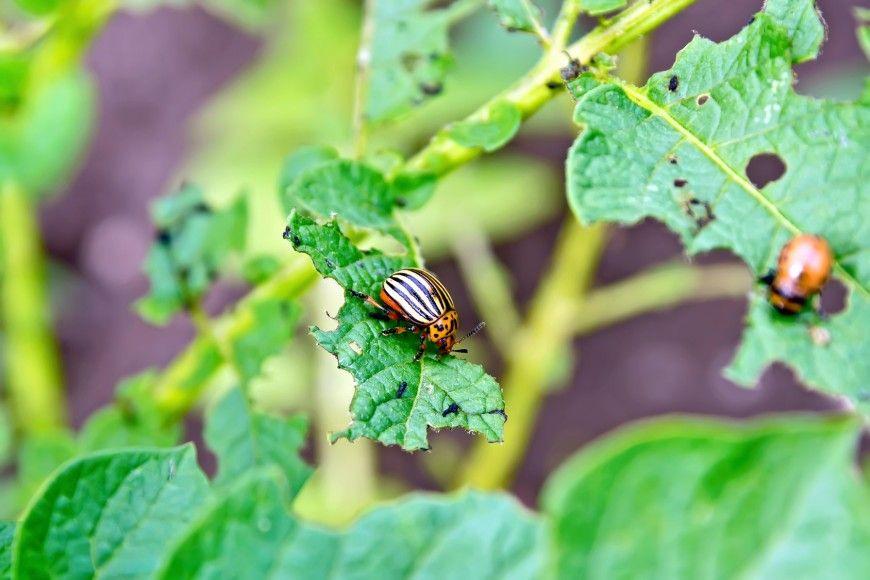 Колорадский жук на листьях картофеля