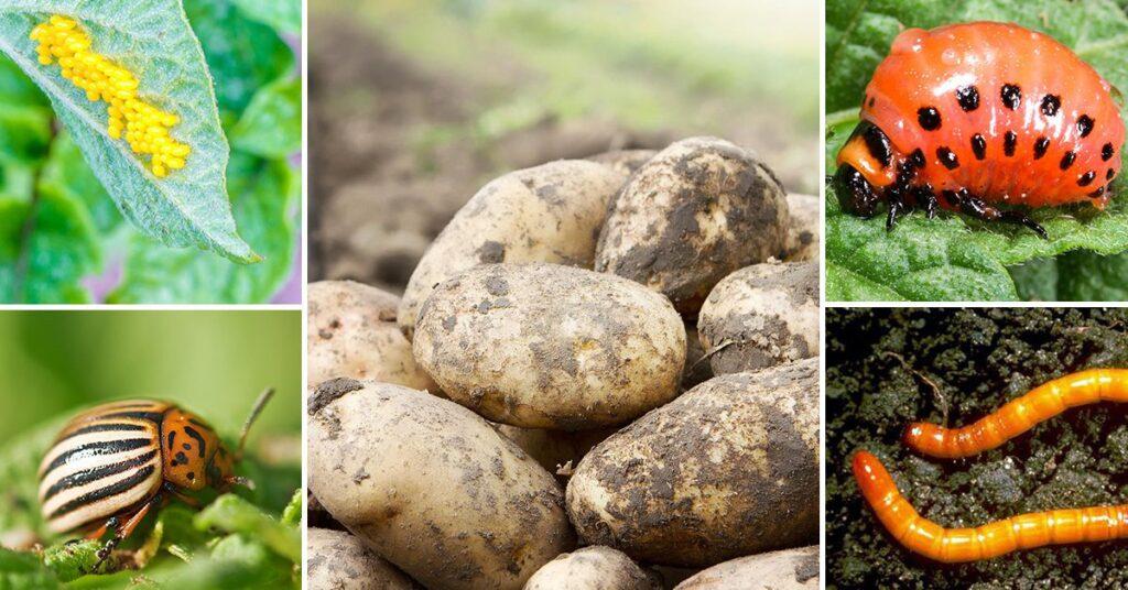 Недостатки картофеля жук
