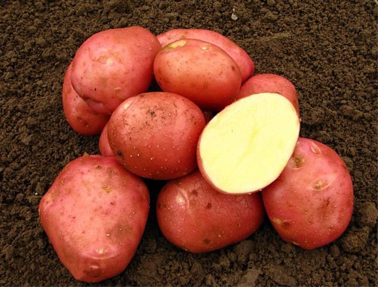 Описание картофеля Беллароза