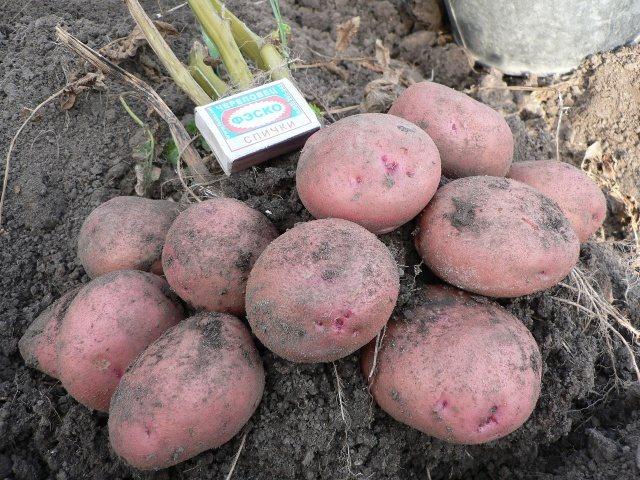 Описание картофеля сорта Журавинка