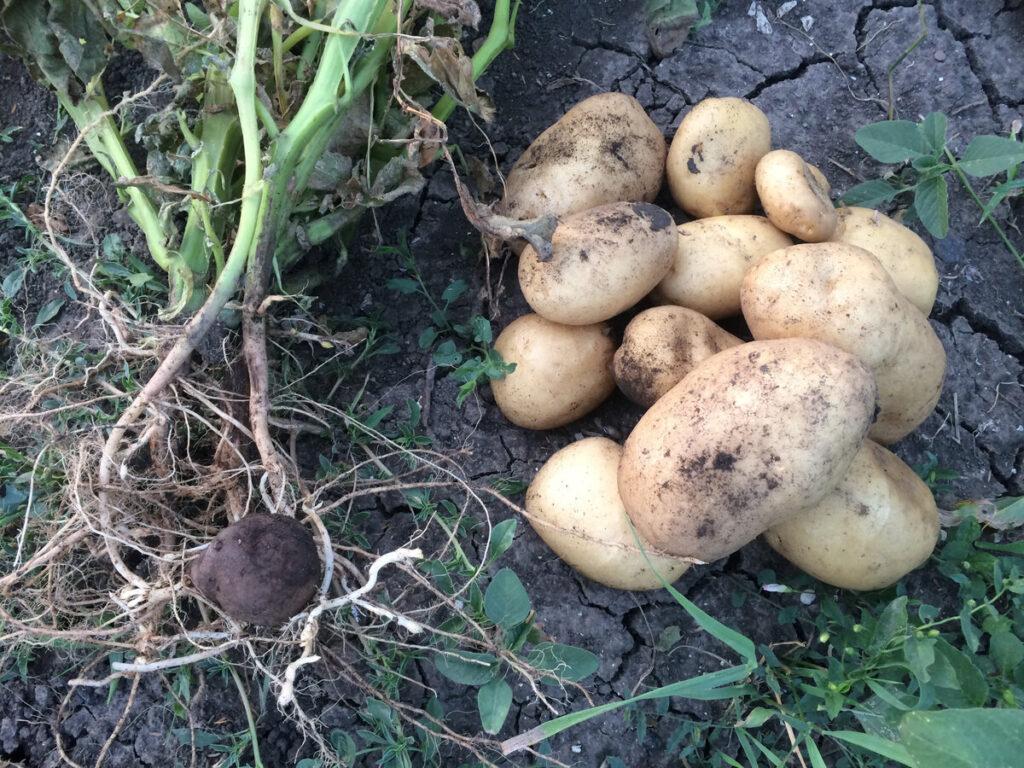 Основные характеристики картофеля Колобок