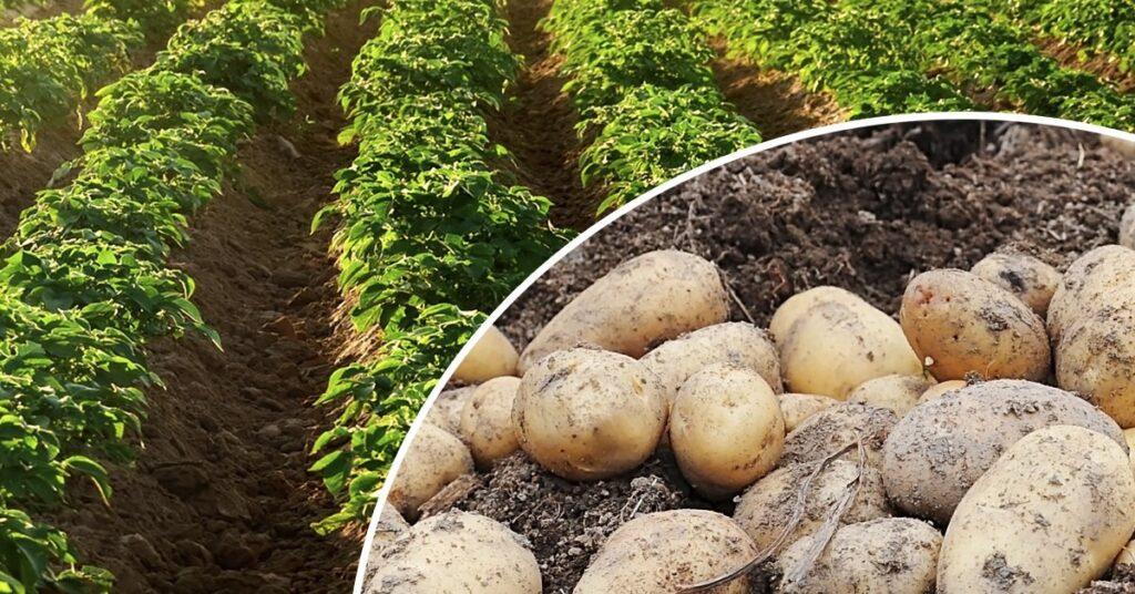 Основные правила агротехники картофеля