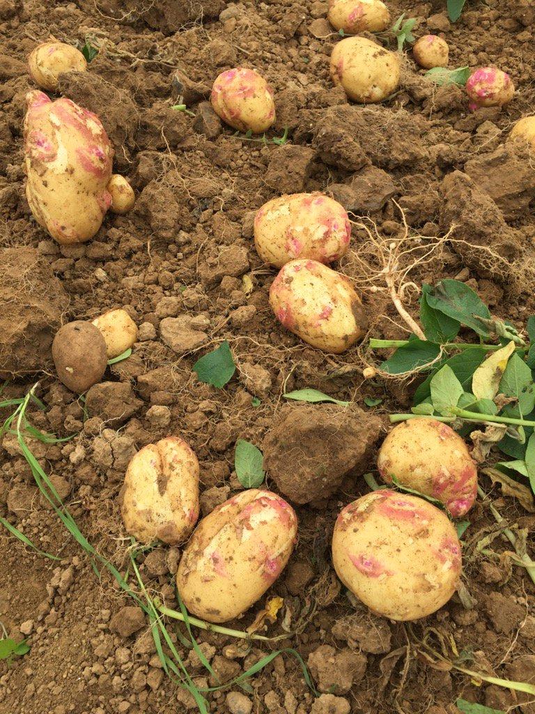 Особенности выращивания картофеля Пикассо в южных районах