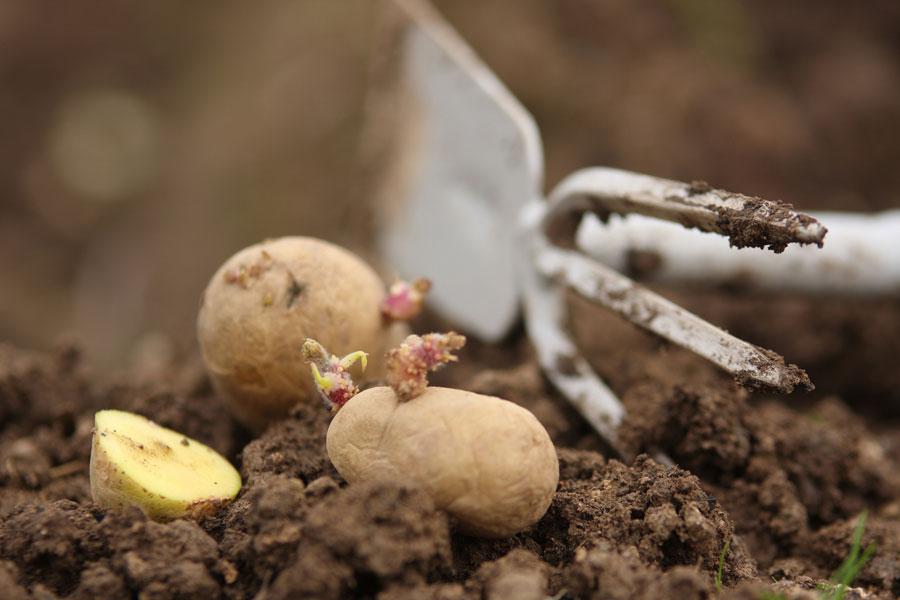 Подготовка к посадке картофеля