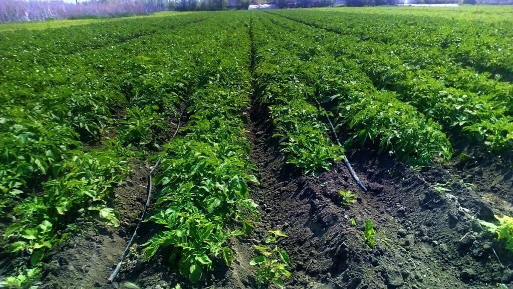 Полив и подкормка картофеля