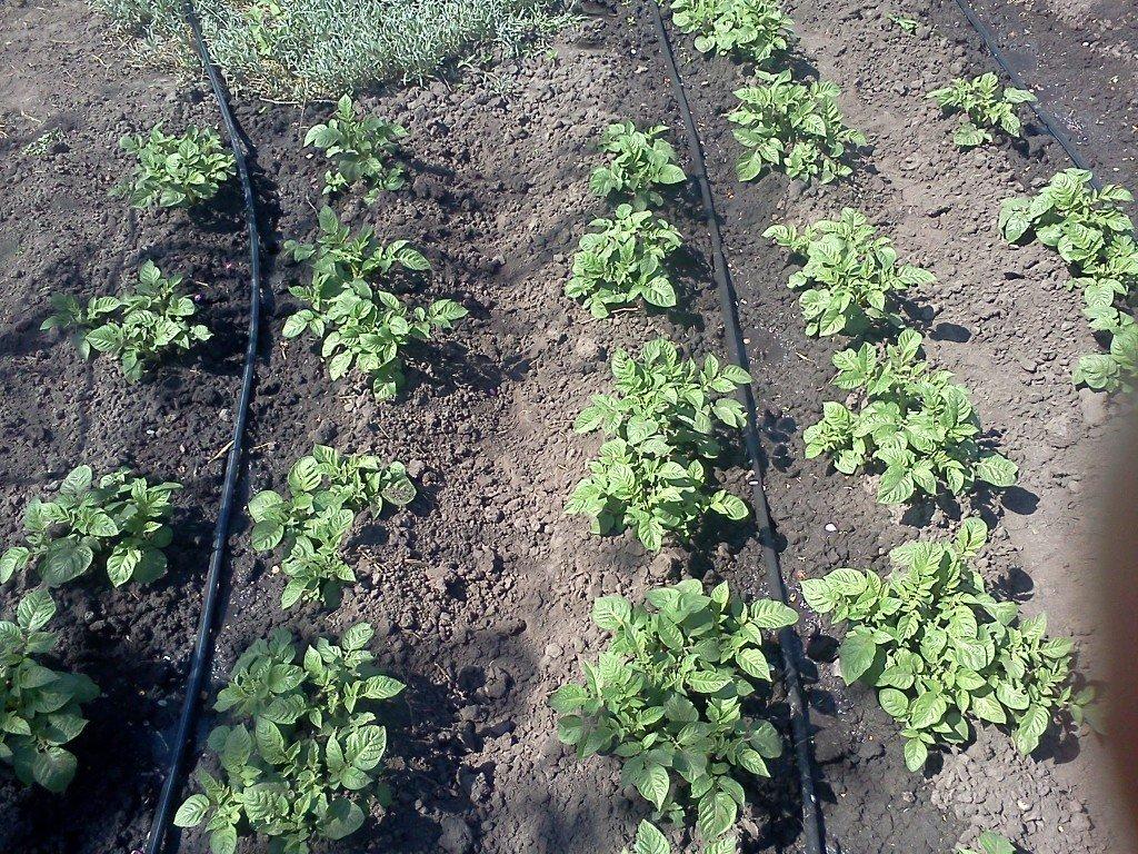 Полив картофеля сорта Дофине