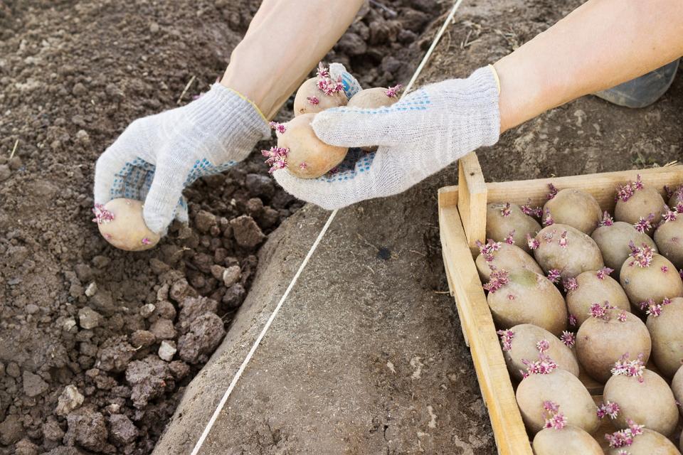 Посадка и выращивание картофеля сорта Дофине