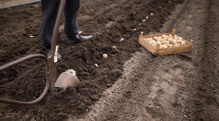 Посадка картофеля Бриз