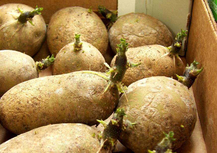 Посадочный материал картофеля
