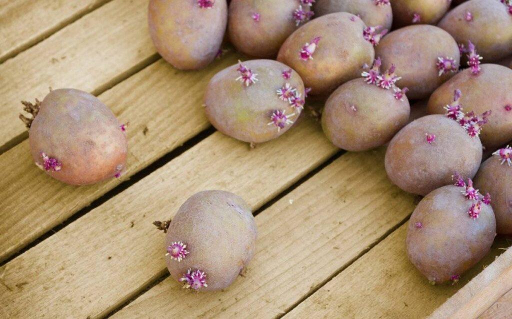 Предварительное проращивание картофеля
