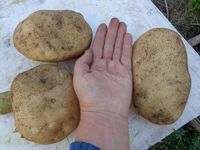 Преимущества и недостатки картофеля Великан