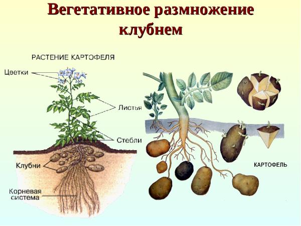 Размножение картофеля Бриз