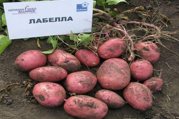 Рекомендации по уходу за картофелем Лабелла