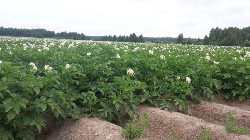 Ряды кустов картофеля