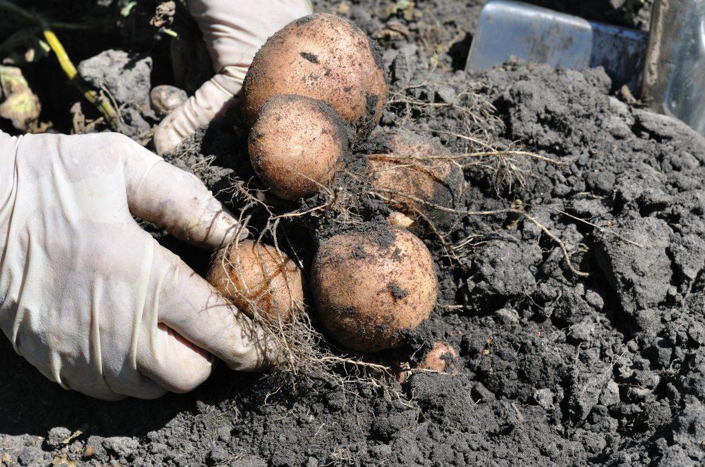 Сбор картофеля Романо