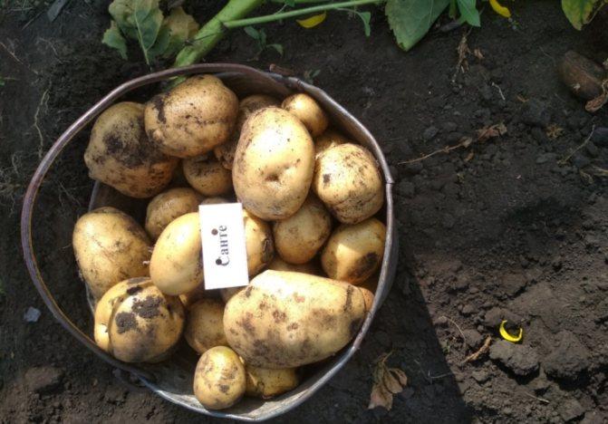 Сбор картофеля Санте