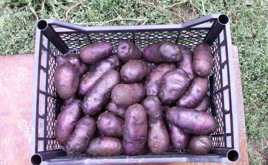 Сбор урожая картофеля Голубой Дунай