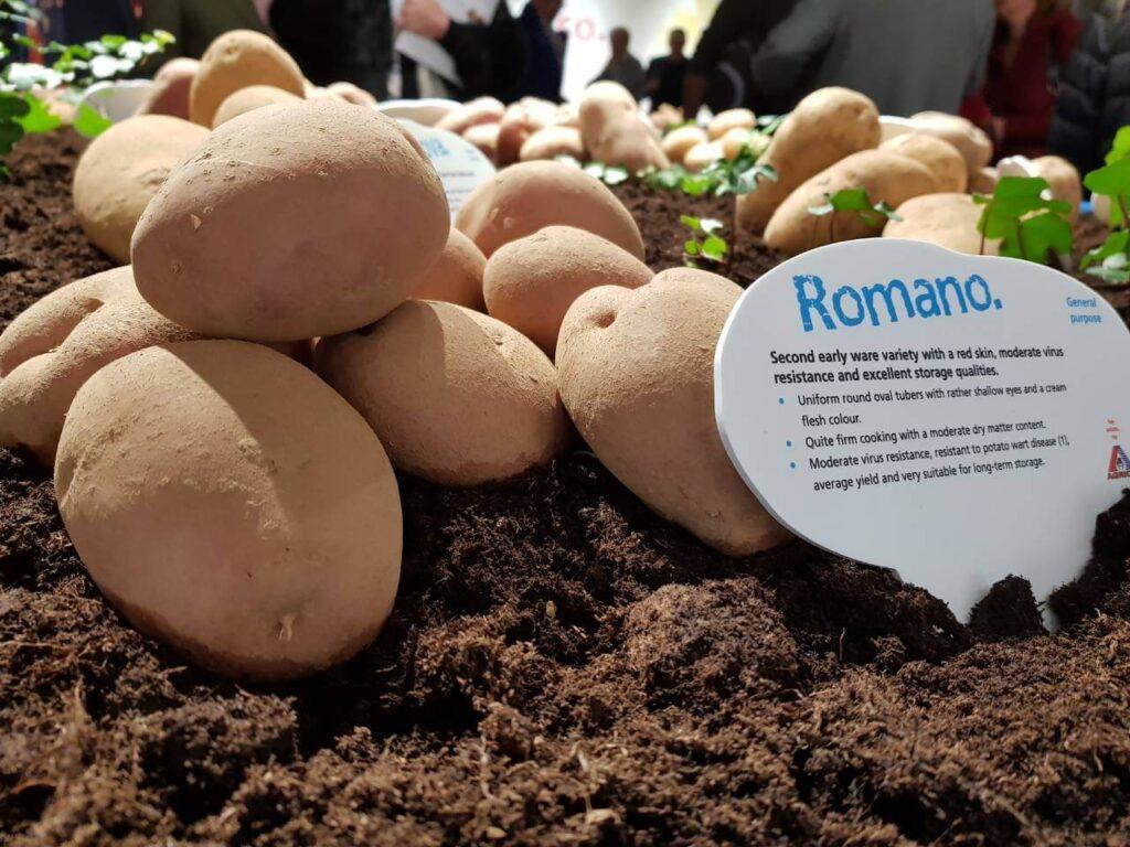 Сорт картофеля Романо
